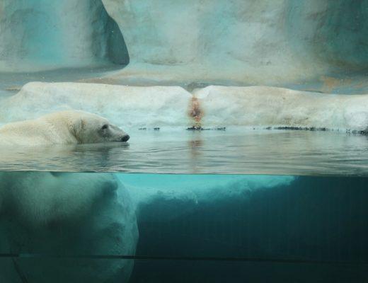 polar-bear-858672_960_720